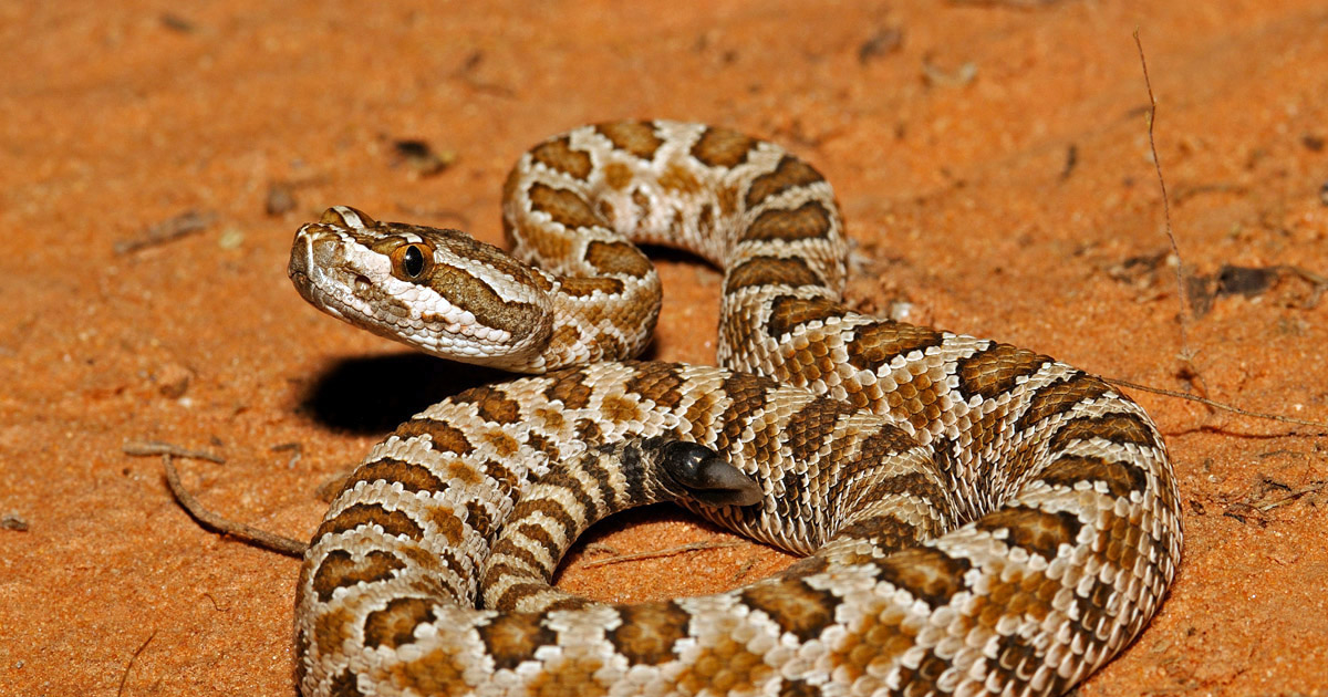 How to stay safe around rattlesnakes