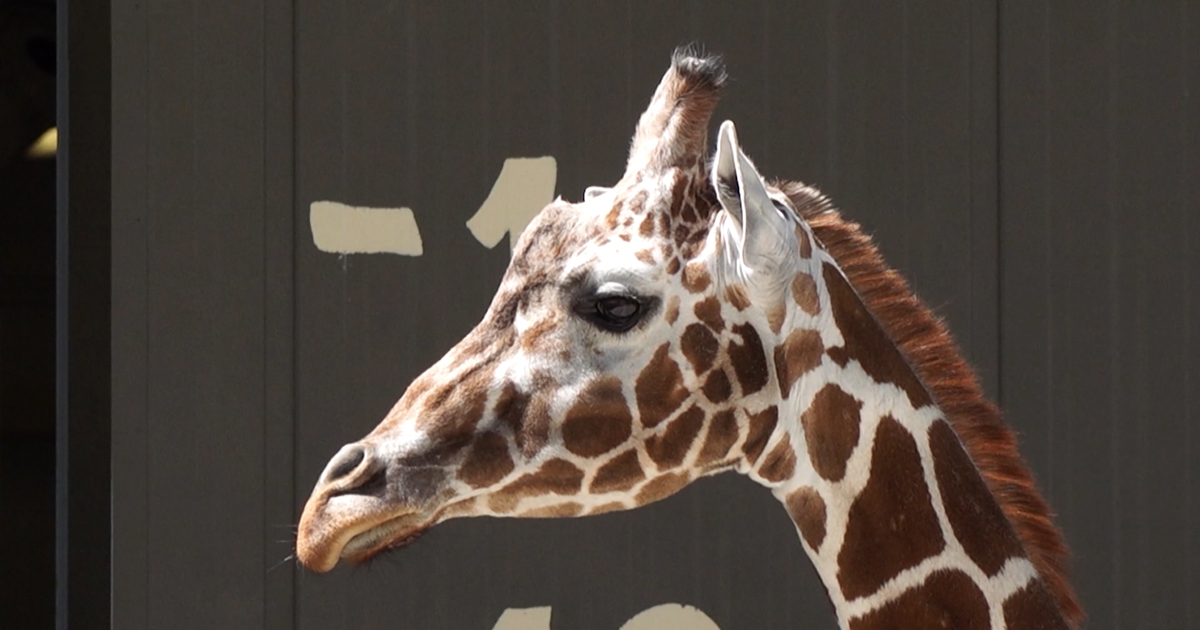 Salt Lake zoo officials trying to get leg up on giraffe's troubled...
