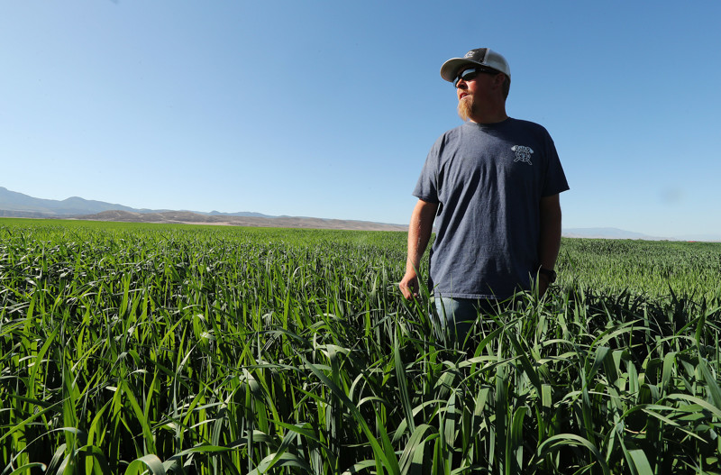 Zack Jensen, co-owner of the 3,800-acre M&K Farms in Centerfield, looks over a field of oats on Friday, June 8, 2018. Sanpete County farmers say they have never seen the water supply as dire as this year.
