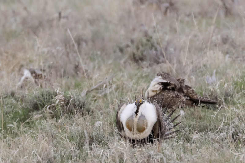 Male greater sage grouse gather in a lek to perform strutting displays in order to attract females to mate with near Henefer on Sunday, May 6, 2018.